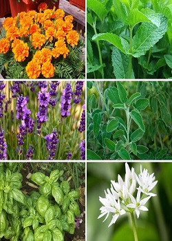 Mosquito Shield Plant-If You Want To Get Relief Of Mosquitoes, So Plant These 10 Plants At Home